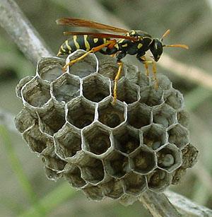 アシナガバチの画像 p1_8